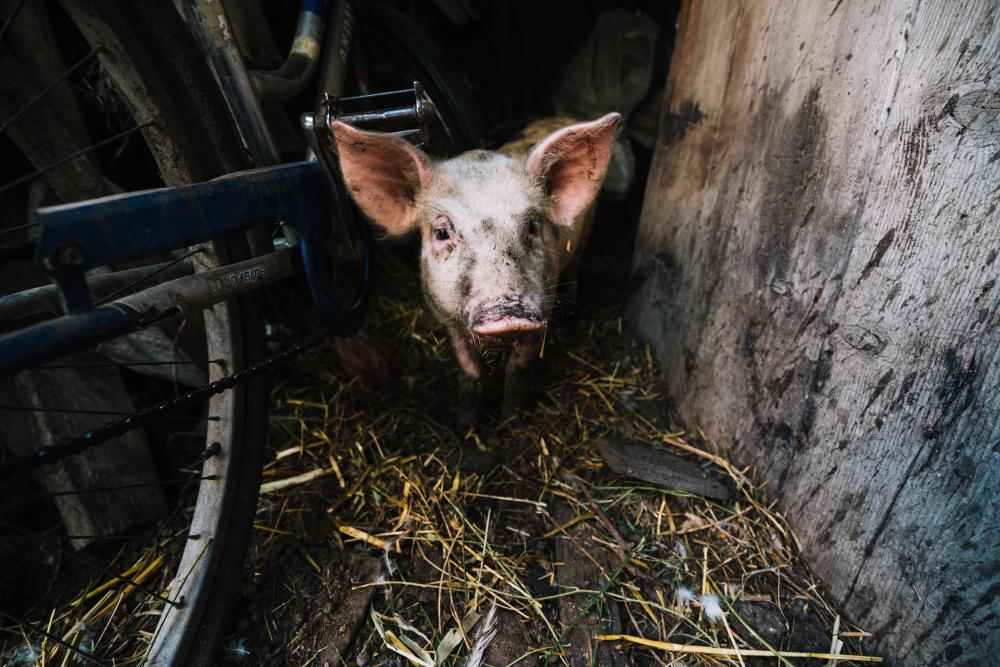 Жители Актюбинской области жаловались на смердящую свиноферму. Что решил суд
