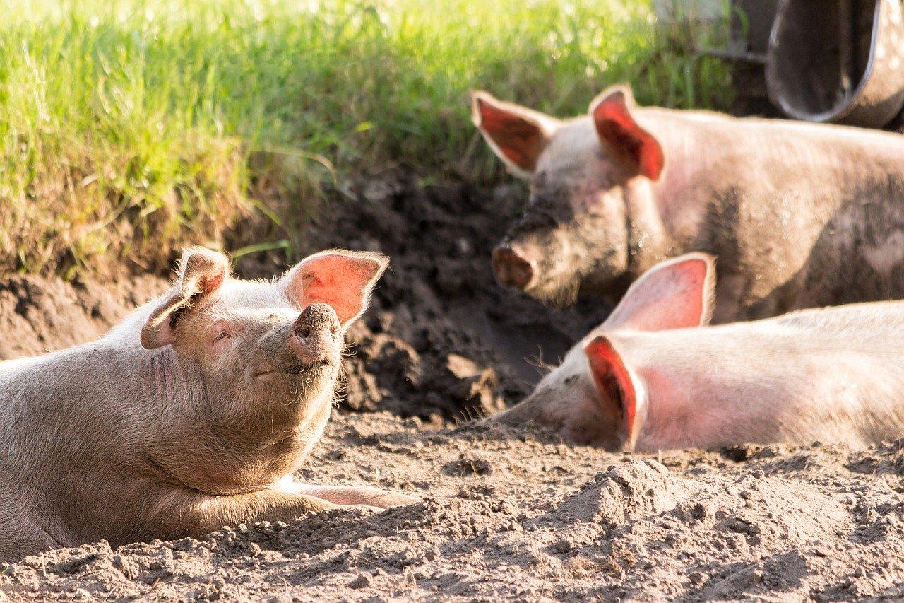 Голодовка на скандальной свиноферме в Казахстане прекращена. Работники так и не дождались акима