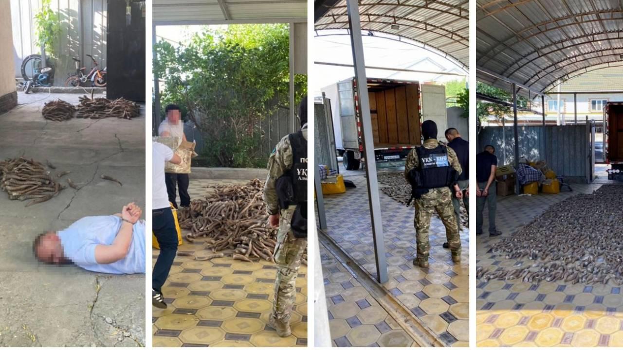 Спецоперация КНБ: пресечена контрабанда 700 кг сайгачьих рогов в Китай
