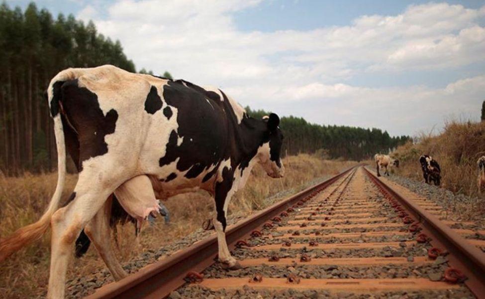 Поезд сбил корову